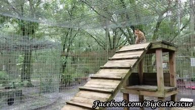 Keeper Marie convinces Simba Savannah Cat to come down off his tall platform for a sicle treat.