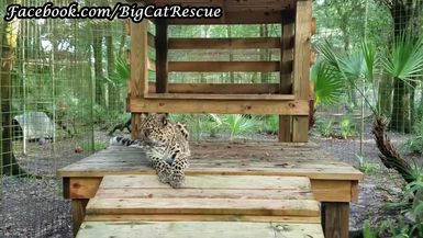 Natalia, the Amur Leopard, is enjoying her platform.