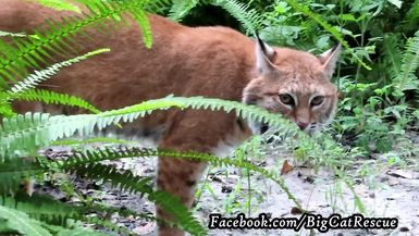 Look!!! It's the elusive Dryden Bobcat! Notice that the backside of his ruff is black!