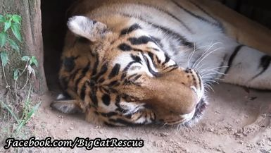 Here's a short clip of our handsome Hoover snoozing in his den.