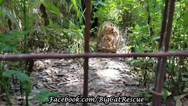 Precious Andi Bobcat is enjoying a sicle. Now 22 years old, she was bred for display at a zoo