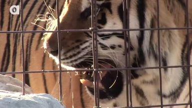 Wayback Wednesdays How to Feed 100 BIG CATS!