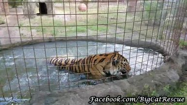 Jasmine Tiger Cooling Off in her Pool, AGAIN.