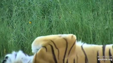 Beautiful Kali Tiger loves a good vacation! #Beauty #Tigers #Vacation #WebCams #Explore #BigCatRes