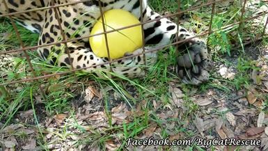 Manny Jaguar and his Ball