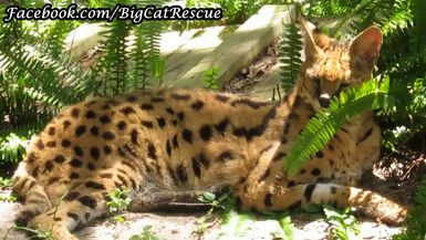 Zimba Serval looks quite handsome hanging out amid the ferns.