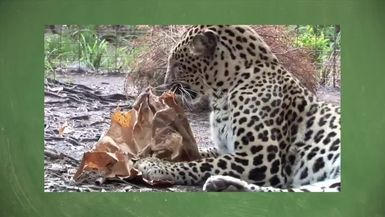 Monday Memories Do BIG Cats Like Catnip_ _PART 2 The -Science-...